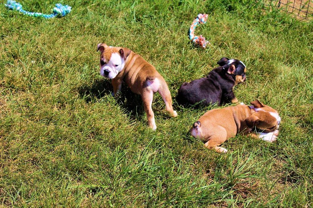 Sugar Plum Bulldogs | Home of the Smaller AKC English Bulldogs Puppies